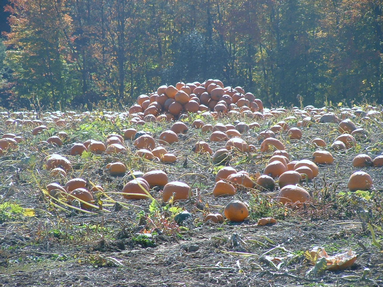 Pumpkin Patch, Toronto