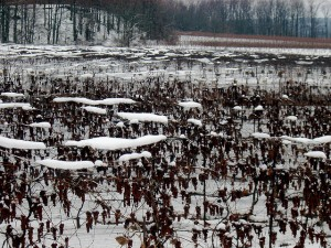 Frozen grapes on the vine in Niagara, photo Chris Hatfield