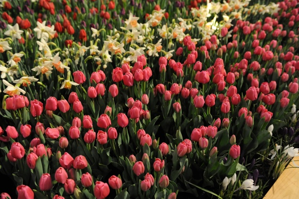 Tulips at Canada Blooms, photo courtesy Canada Blooms