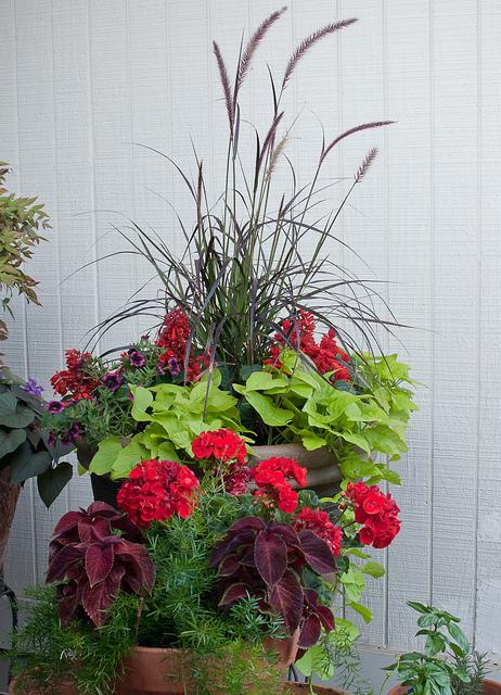 Container garden with geranium, salvia, grass, coleus and fern, photo mabecerra