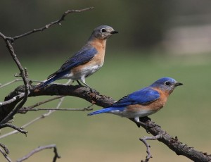 Eastern Bluebirds, photo Snowmanradio