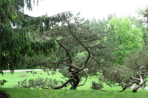 Corkscrew Hazel Tree at Edwards Gardens in Toronto