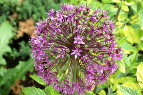 Purple Allium Flower at Toronto Botanical Garden