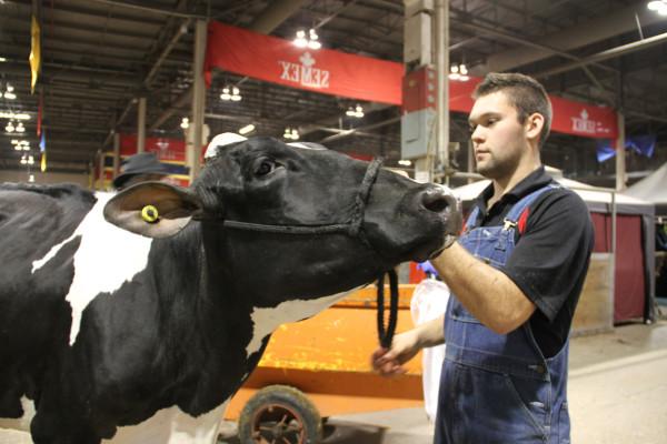 Man shows a bull at the Royal Winter Fair 2015