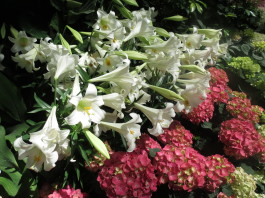 Easter lilies and hydrangeas at Allan Gardens Conservatory is open on Good Friday in Toronto.