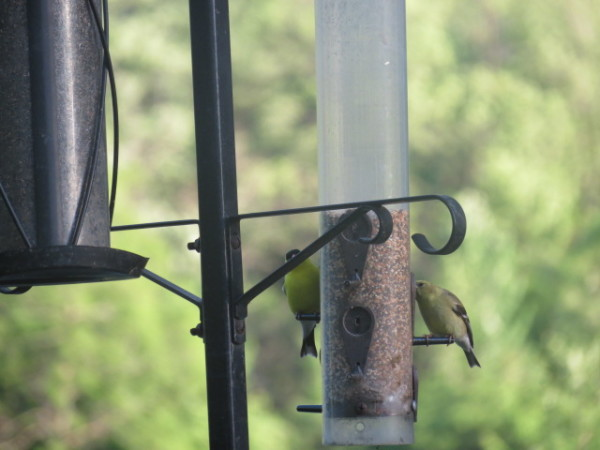 Goldfinches at bird feeder at The Forest Motel, Stratford