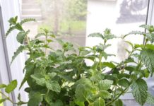 Strawberry Mint is an easy herb to grow