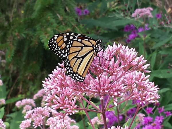 Monarch butterfly in garden at Rosetta McClain Gardens