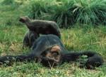 Chimpanzee lying on the ground, courtesy Science Museum of Minnesota