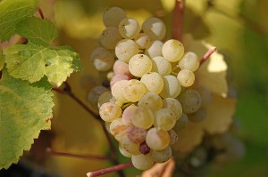 Riesling grapes, photo Tom Maack