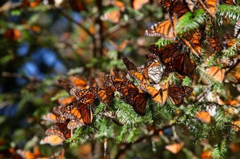 Flight of the Butterflies - Monarch Gathering - SK Films