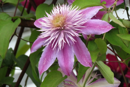 Lilac-coloured Clematis at Toronto Botanical Garden