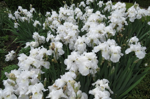 White Irises at Toronto Botanical Garden