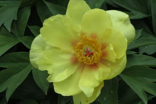 Yellow Peony at Toronto Botanical Garden