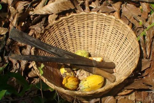Machete and cocoa pods, photo courtesy World Vision