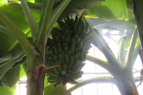 Banana tree at Allan Gardens