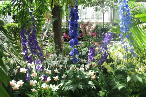 Delphiniums at Spring Flower Show at Allan Gardens