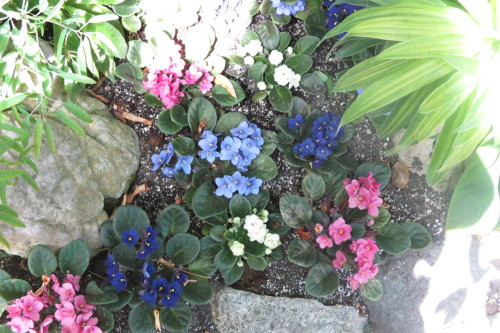 Pink and blue African violets