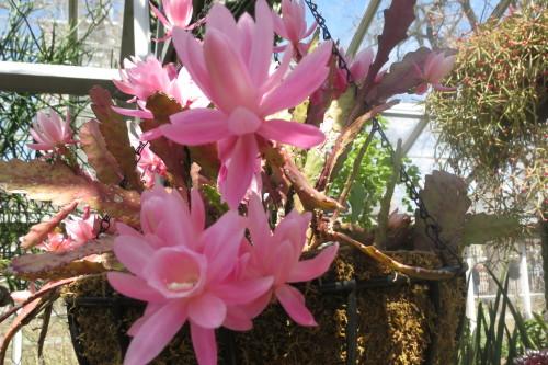 Pink flowers at Allan Gardens