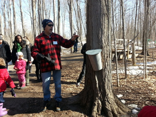 Tapping the maple syrup at Bruce's Mill, photo Sharilene Rowland