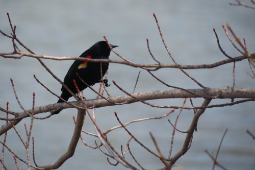 Red-winged Blackbird at Tommy Thompson Park