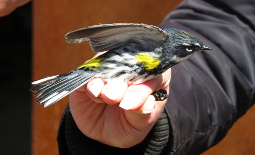 Yellow Rumped Warbler at Tommy Thompson Park, photo Lori Bosworth