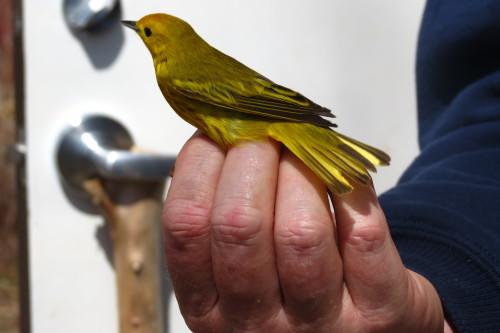 Yellow Warbler, photo Lori Bosworth