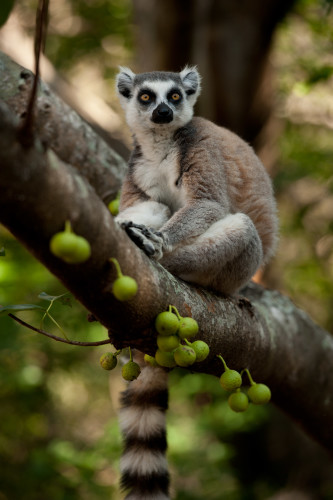 Lemurs on Madagascar Island
