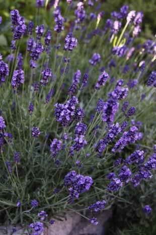 Lavender, photo by kzinn