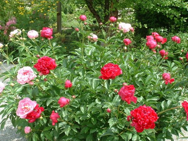 Peonies at Toronto Botanical Garden