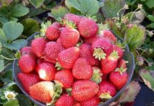 Visit Whittamore's Farm in Markham where you can enjoy strawberry picking near Toronto.