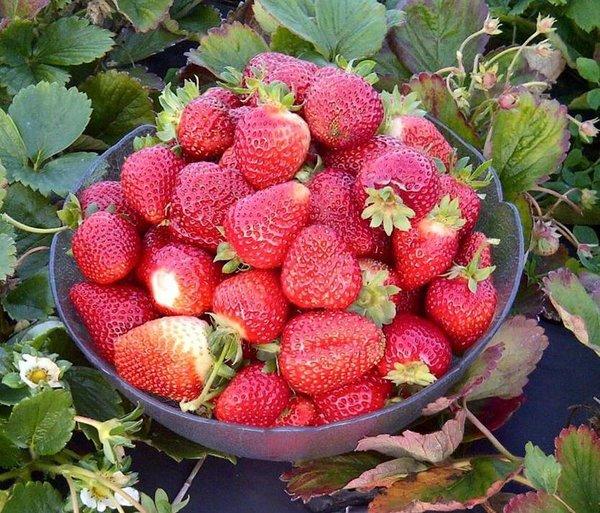 Visit Whittamore's Farm in Markham where you can enjoy strawberry picking near Toronto.