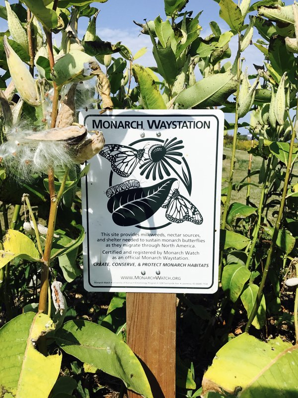 Monarch Waystation at Southbrook Vineyards