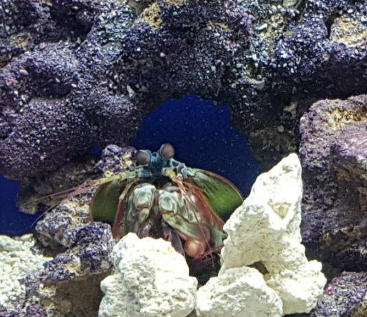 Peacock Mantis Shrimp at Ripley's Aquarium of Canada in Toronto