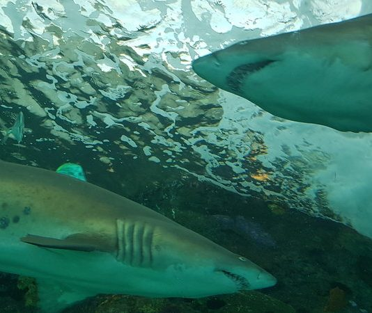 Two sharks pass each other in the Dangerous Lagoon at Ripley's Aquarium of Canada in Toronto.
