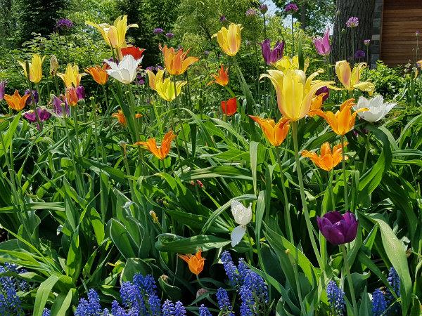 Tulips in the front garden on Mark's Choice Through The Garden Gate tour 2018