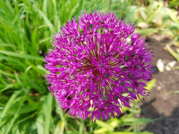 Allium perennial at Toronto Botanical Garden