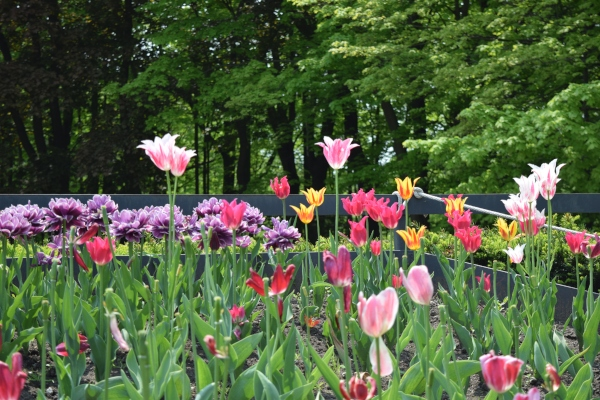 Colourful tulips at Toronto Botanical Garden on May 31 2019