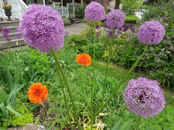 Orange Poppies and Allium at garden at Mark's Choice Through The Garden Gate 2019