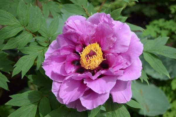 Peony in garden at Mark's Choice Through The Garden Gate 2019