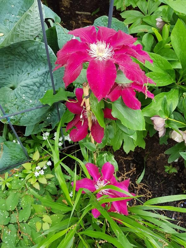 Scarlet-coloured Clematis at garden at Mark's Choice Through The Garden Gate 2019
