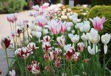 Tulips at Toronto Botanical Garden May 31 2019