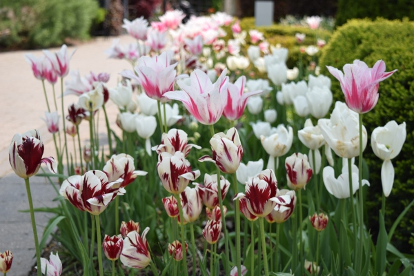 Tulips at Toronto Botanical Garden May 31 2019