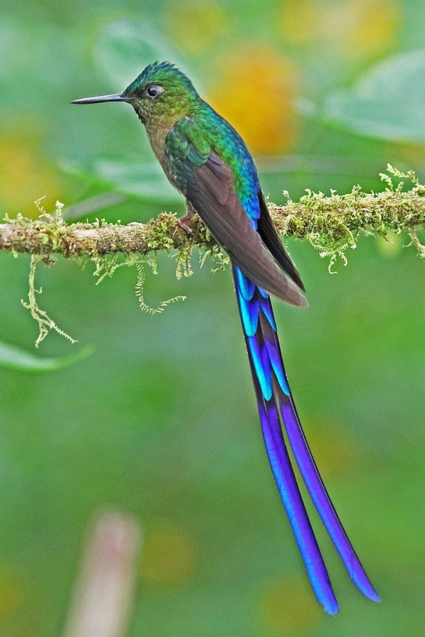 Violet-tailed Sylph, photo credit Joseph C Boone - Own work, CC BY-SA 4.0, https://commons.wikimedia.org/w/index.php?curid=71168869