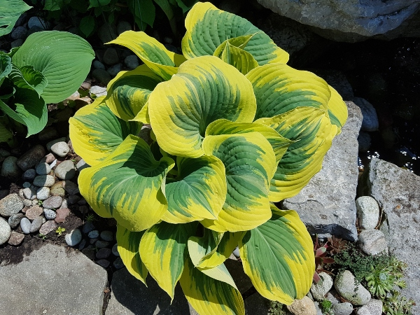 Hostas do well in gardens with morning sun and are a great choice for east-facing gardens.