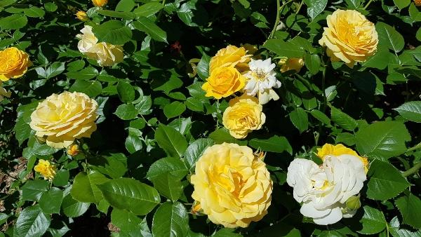 Julia Child Floribunda Roses at Rosetta McClain Gardens in Toronto
